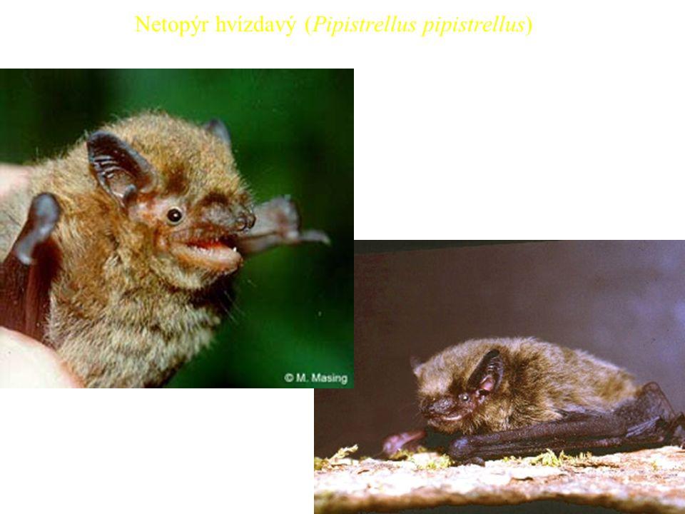 Netopýr hvízdavý (Pipistrellus pipistrellus)