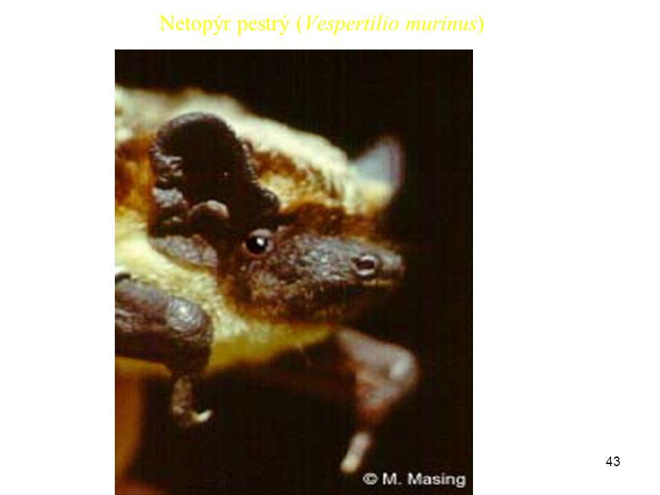 Netopýr pestrý (Vespertilio murinus)