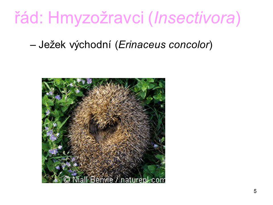 řád: Hmyzožravci (Insectivora)