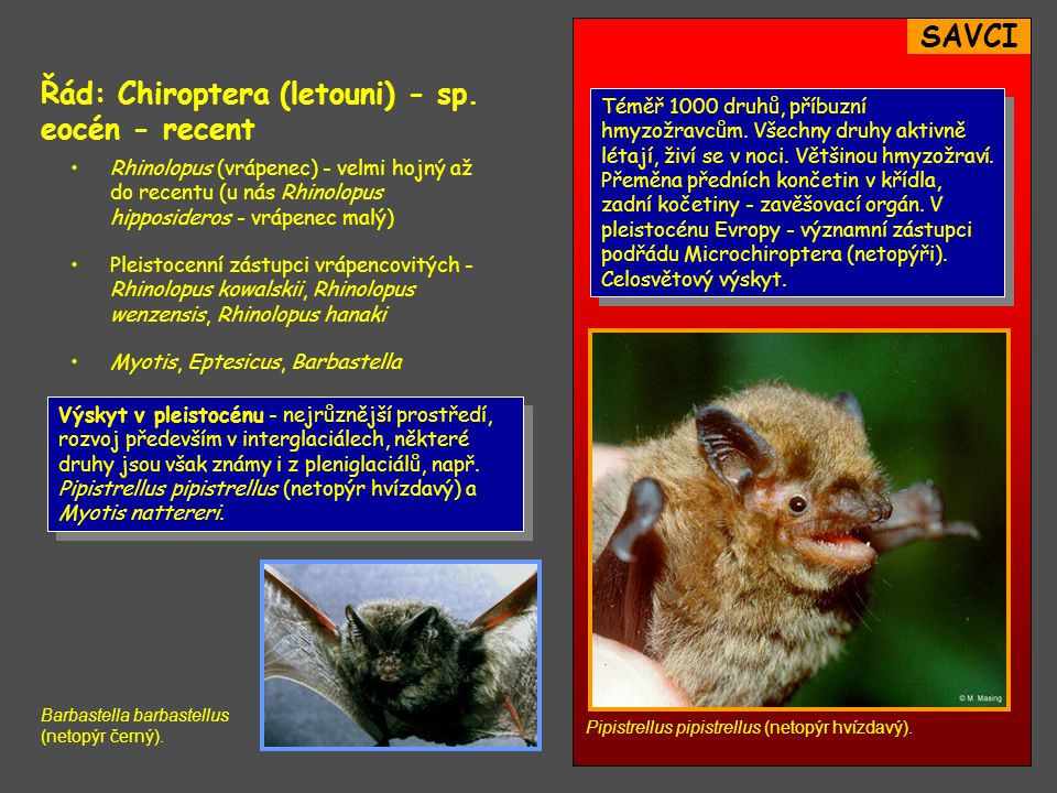 Řád: Chiroptera (letouni) - sp. eocén - recent
