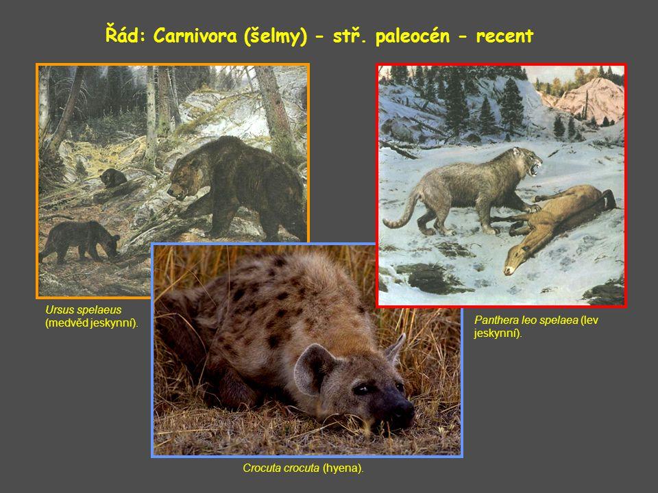 Řád: Carnivora (šelmy) - stř. paleocén - recent