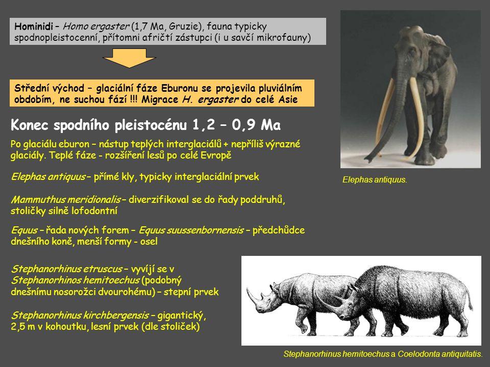 Konec spodního pleistocénu 1,2 – 0,9 Ma