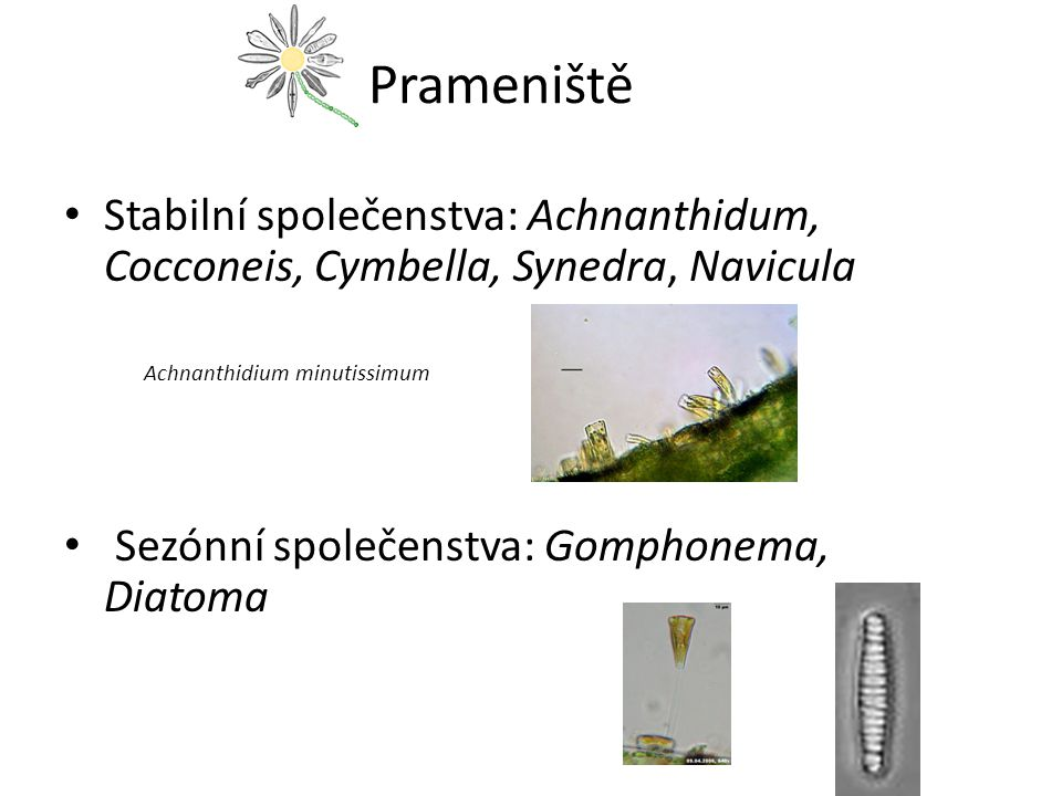Prameniště Stabilní společenstva: Achnanthidum, Cocconeis, Cymbella, Synedra, Navicula. Achnanthidium minutissimum.