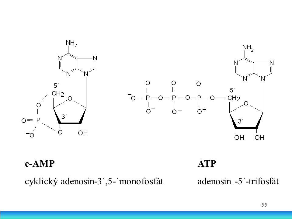 c-AMP ATP cyklický adenosin-3´,5-´monofosfát adenosin -5´-trifosfát.