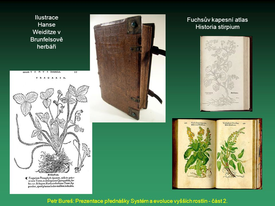 Ilustrace Hanse Weiditze v Brunfelsově herbáři