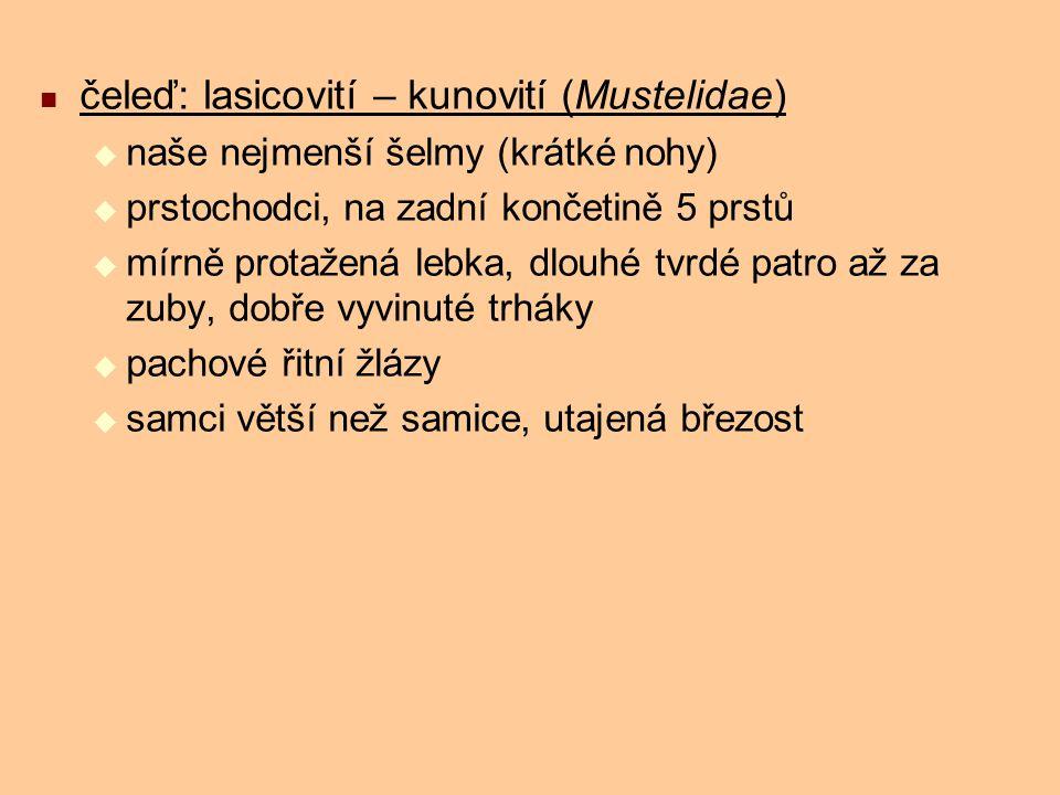 čeleď: lasicovití – kunovití (Mustelidae)