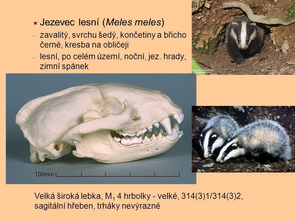 Jezevec lesní (Meles meles)