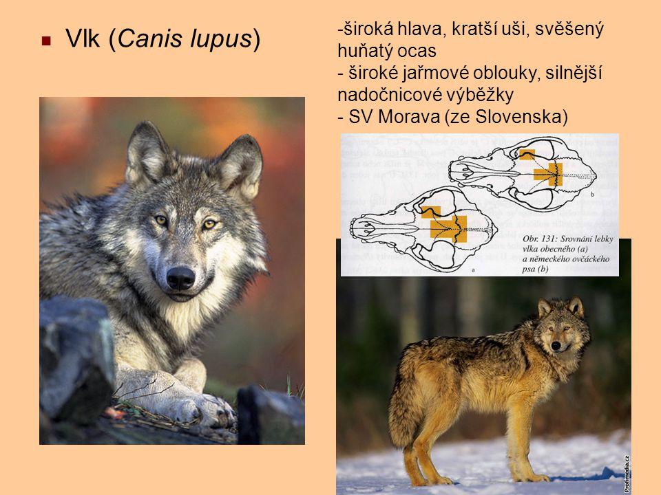Vlk (Canis lupus) široká hlava, kratší uši, svěšený huňatý ocas
