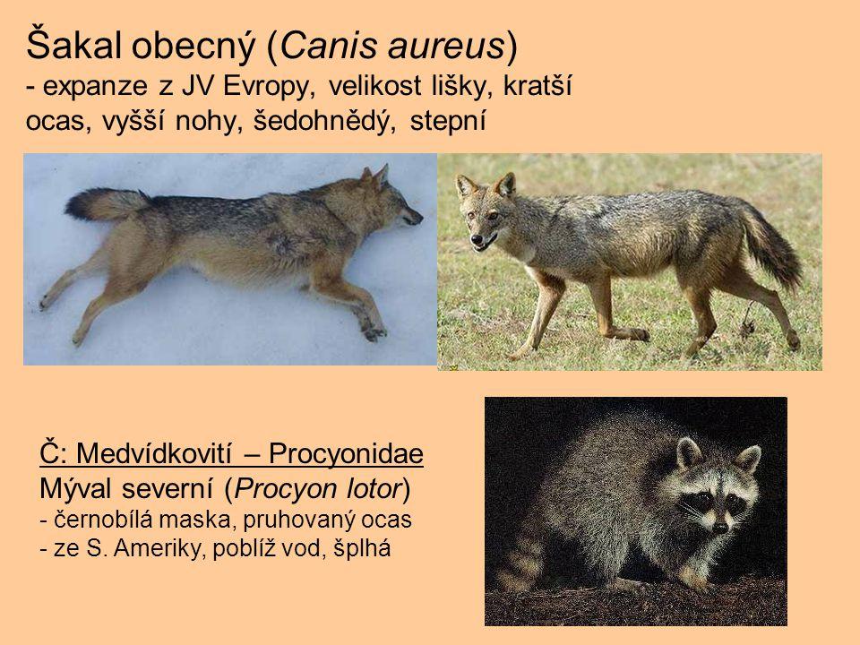 Šakal obecný (Canis aureus) - expanze z JV Evropy, velikost lišky, kratší ocas, vyšší nohy, šedohnědý, stepní
