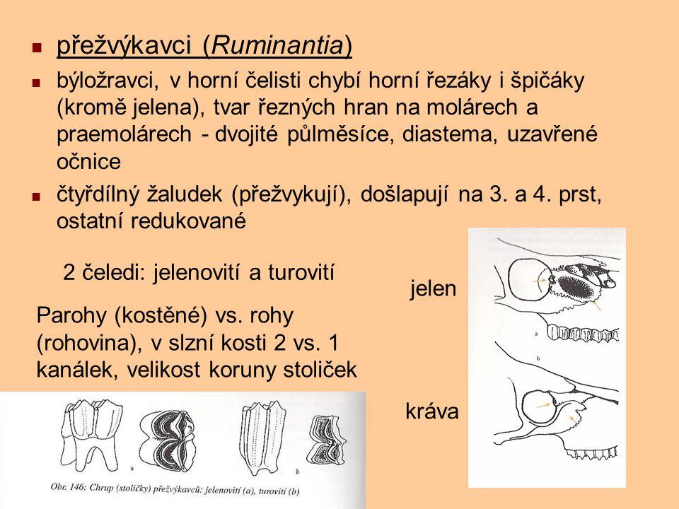 přežvýkavci (Ruminantia)