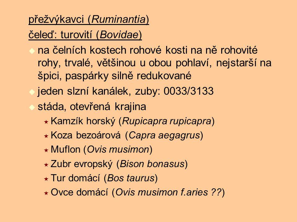 přežvýkavci (Ruminantia) čeleď: turovití (Bovidae)