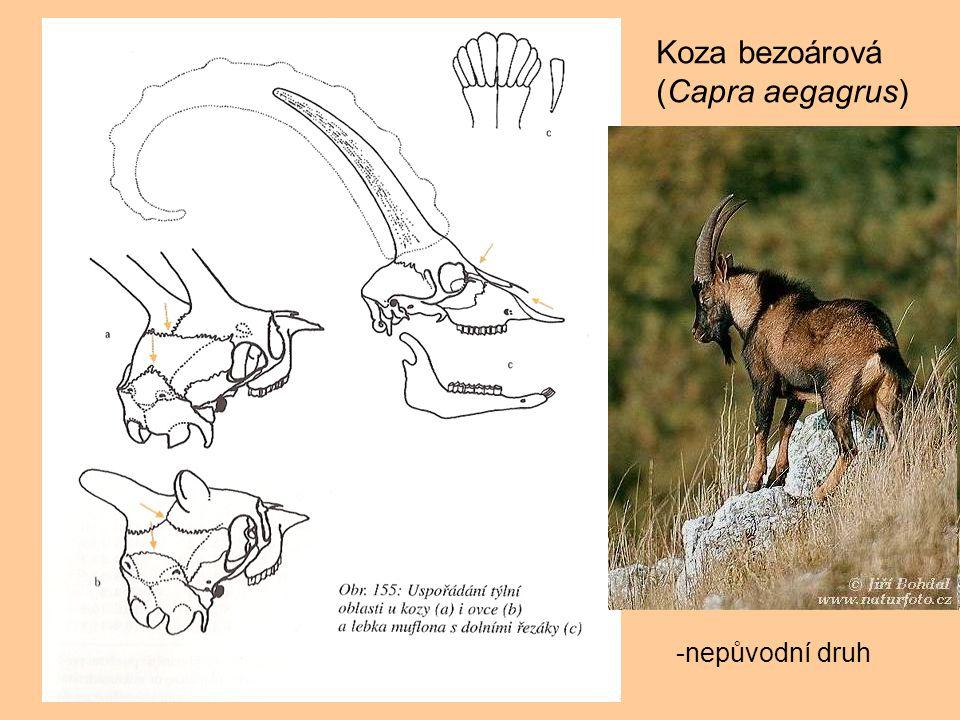 Koza bezoárová (Capra aegagrus) -nepůvodní druh