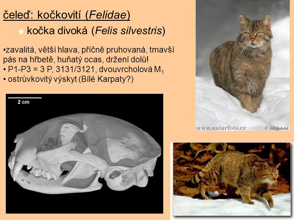 čeleď: kočkovití (Felidae)