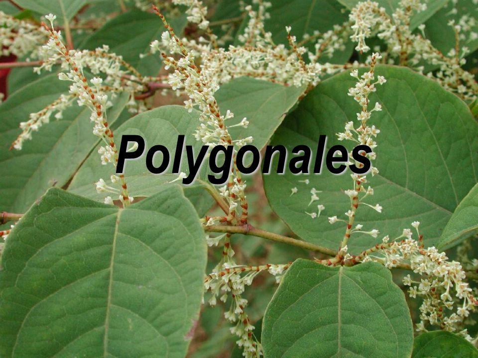 Polygonales