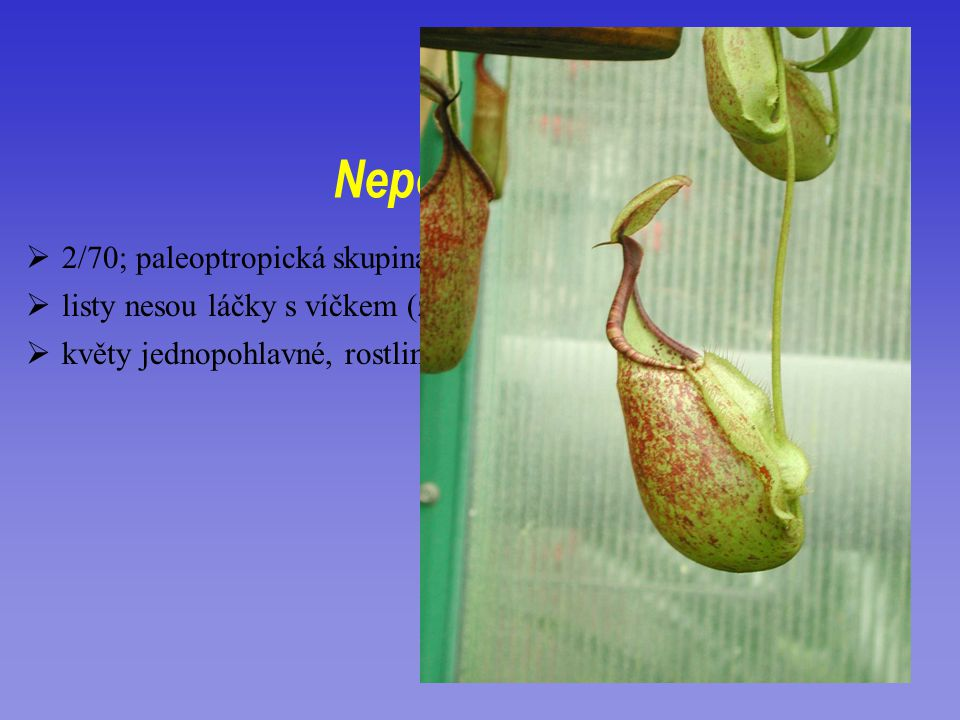 Nepenthaceae 2/70; paleoptropická skupina