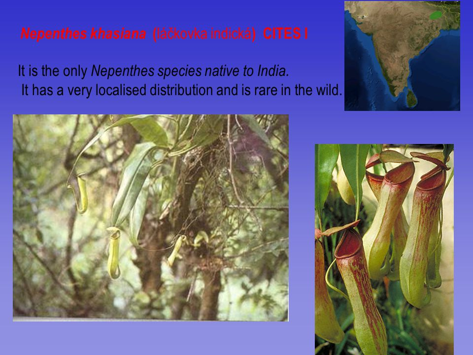 Nepenthes khasiana (láčkovka indická) CITES I