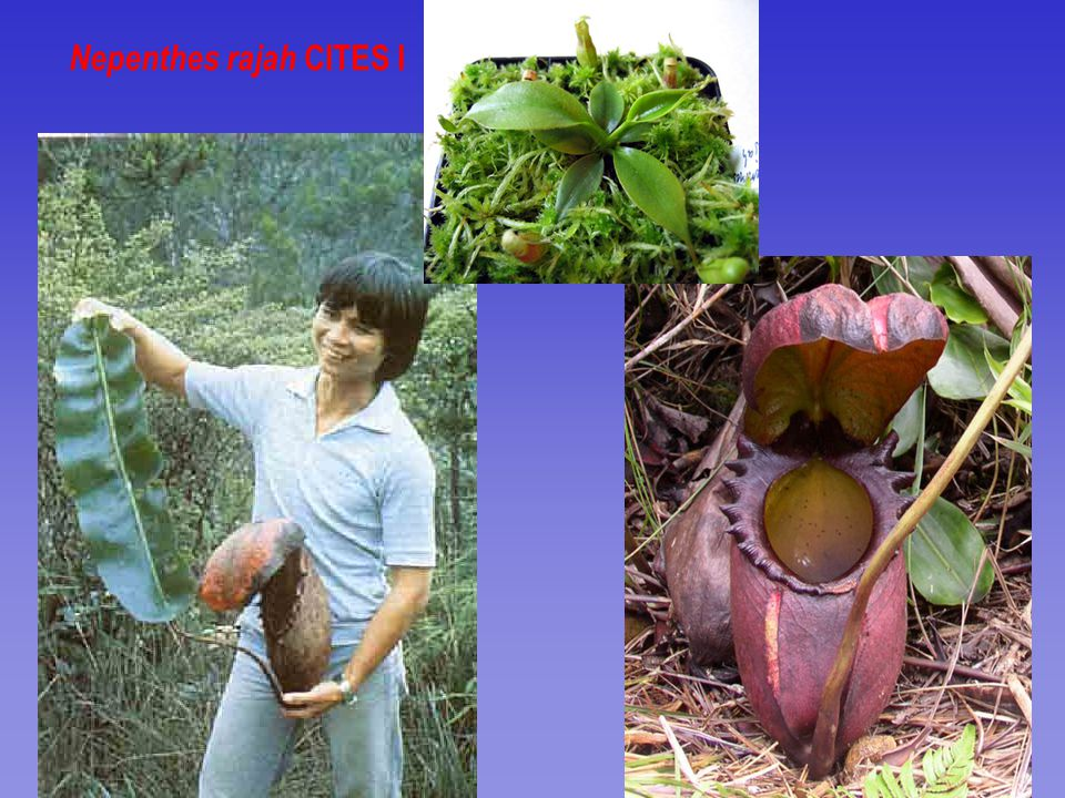 Nepenthes rajah CITES I