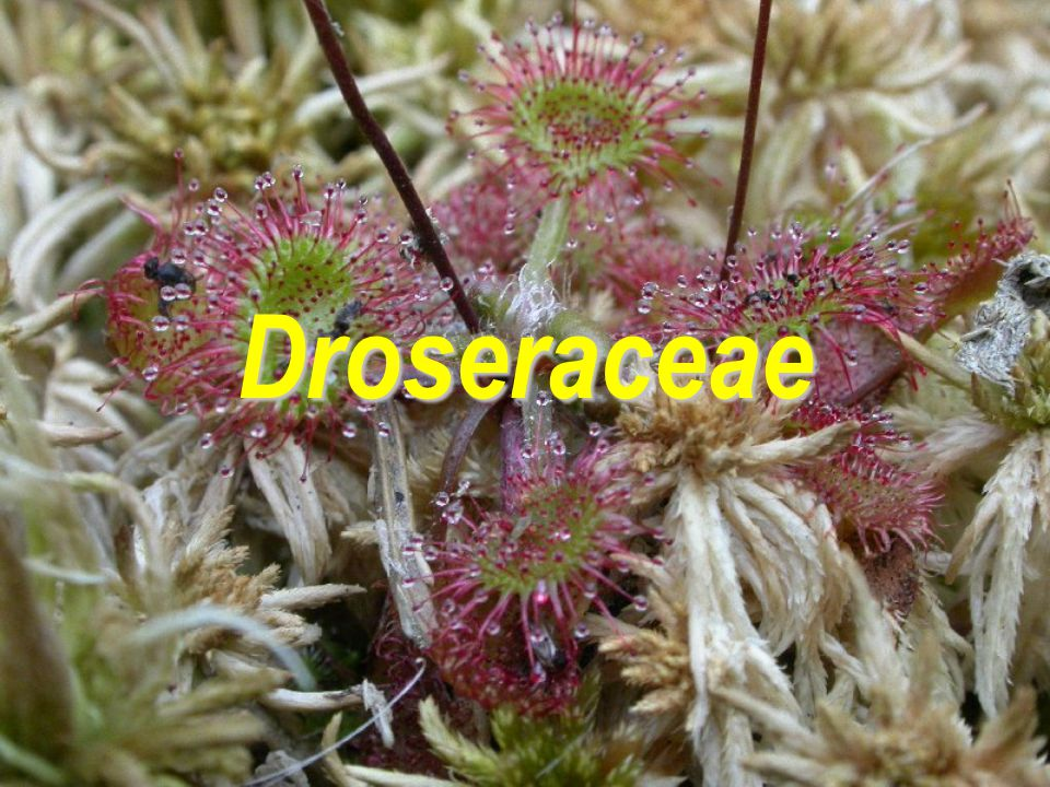 Droseraceae