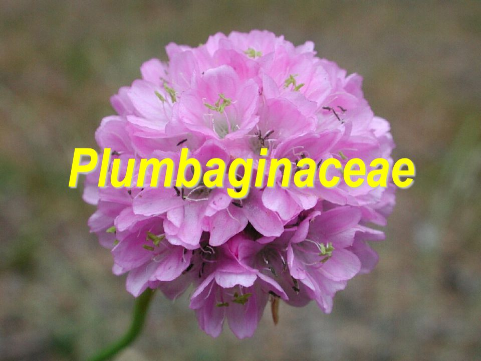 Plumbaginaceae