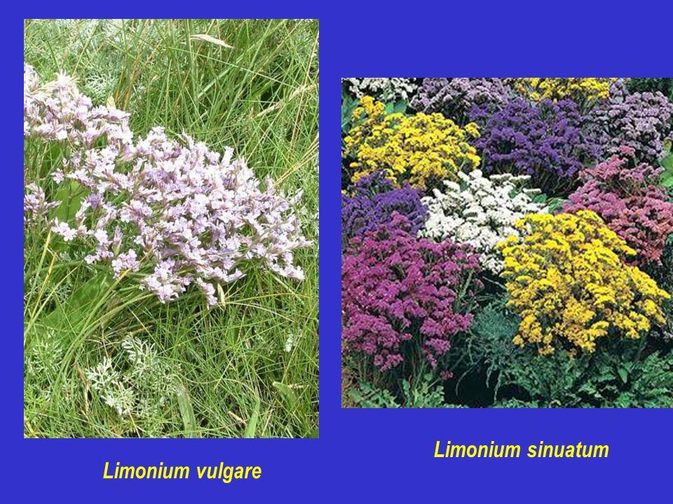 Limonium sinuatum Limonium vulgare