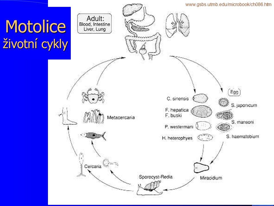 Motolice životní cykly
