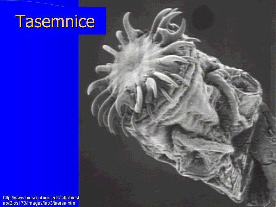 Tasemnice http://www.biosci.ohiou.edu/introbioslab/Bios173/images/lab3/taenia.htm