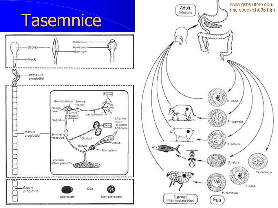 Tasemnice www.gsbs.utmb.edu/microbook/ch086.htm