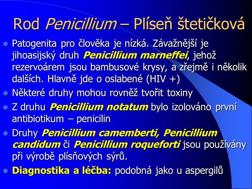 Rod Penicillium – Plíseň štetičková