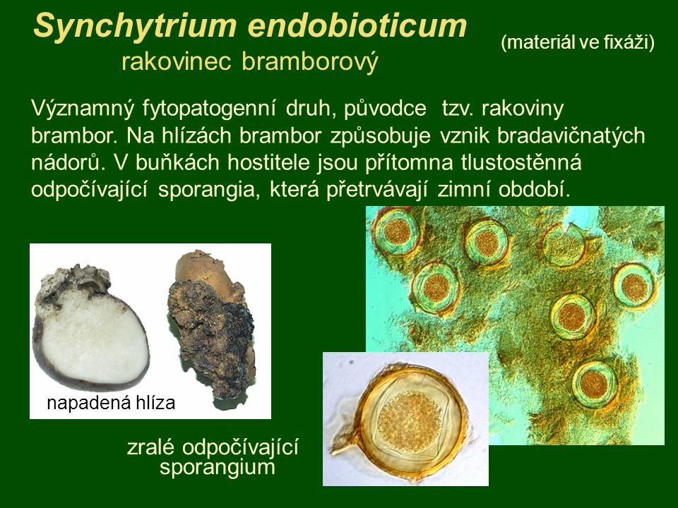 Synchytrium endobioticum