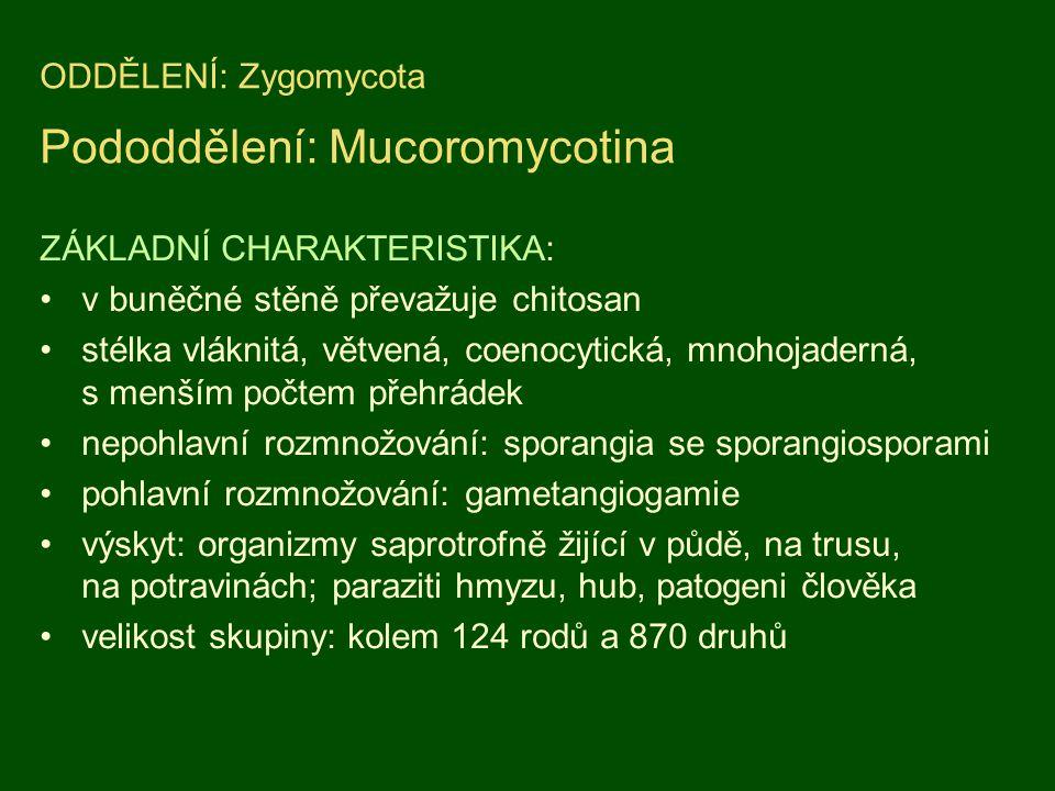 ODDĚLENÍ: Zygomycota Pododdělení: Mucoromycotina