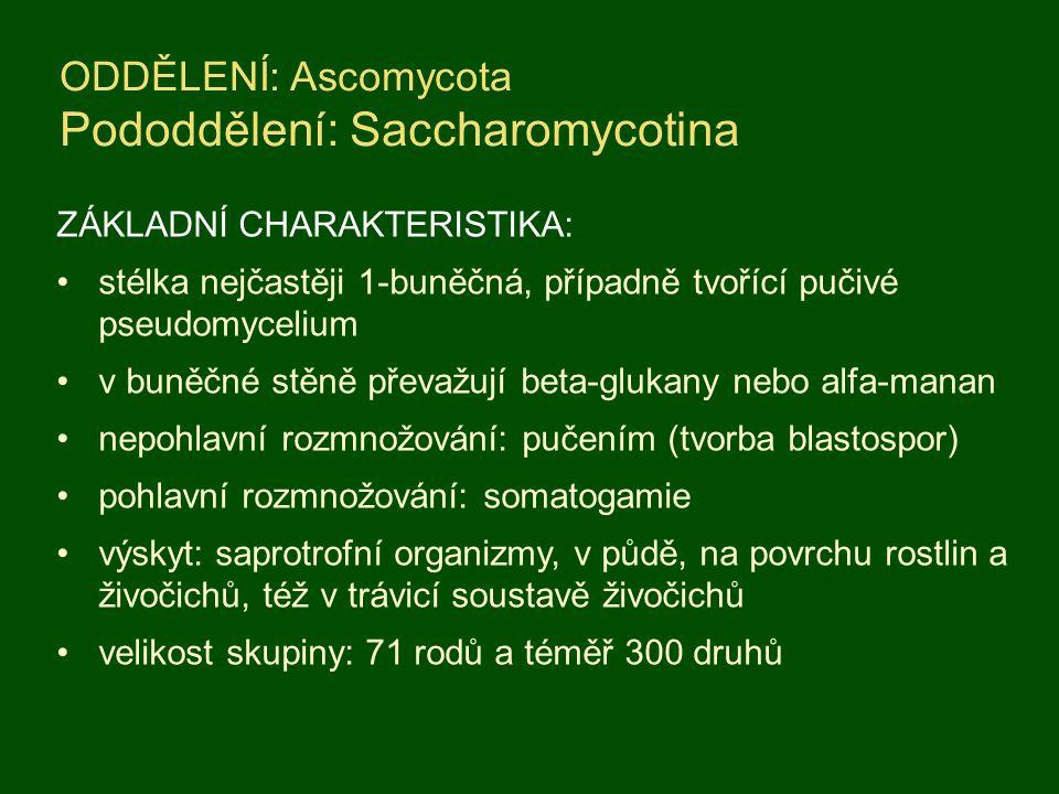 ODDĚLENÍ: Ascomycota Pododdělení: Saccharomycotina