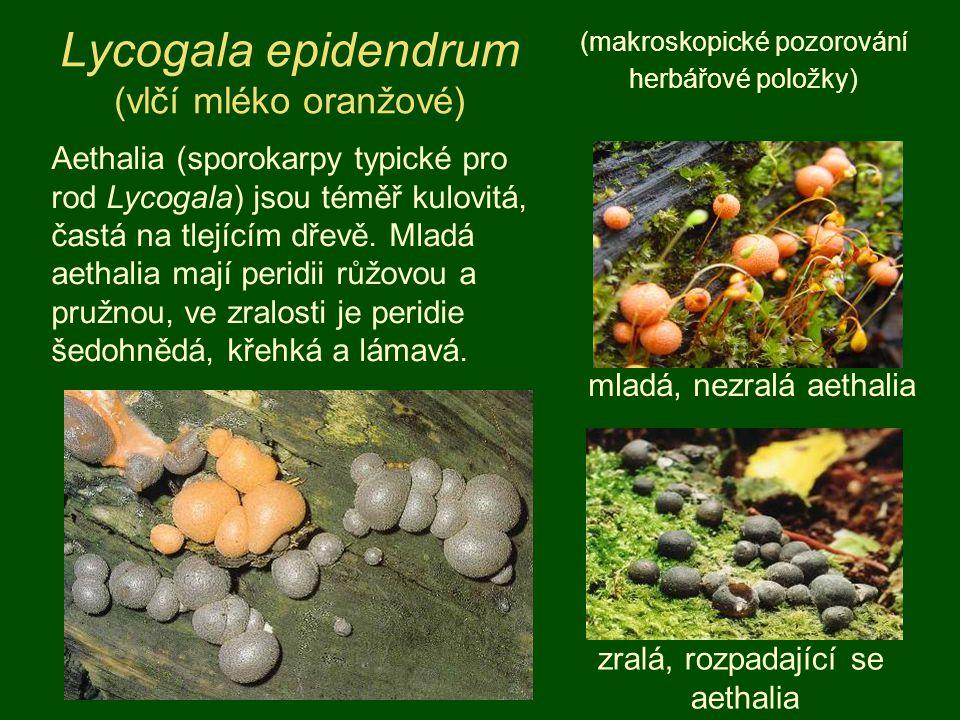 Lycogala epidendrum (vlčí mléko oranžové)