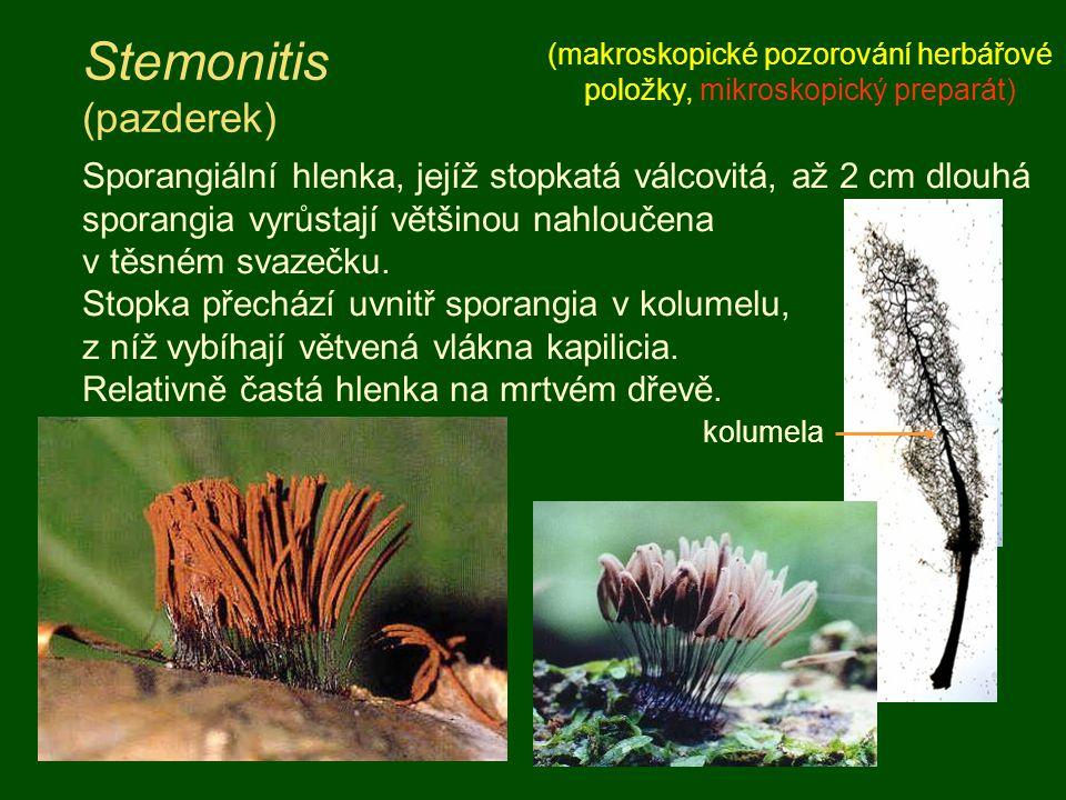 Stemonitis (pazderek)