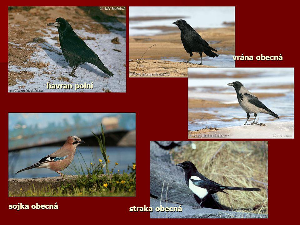 vrána obecná havran polní sojka obecná straka obecná