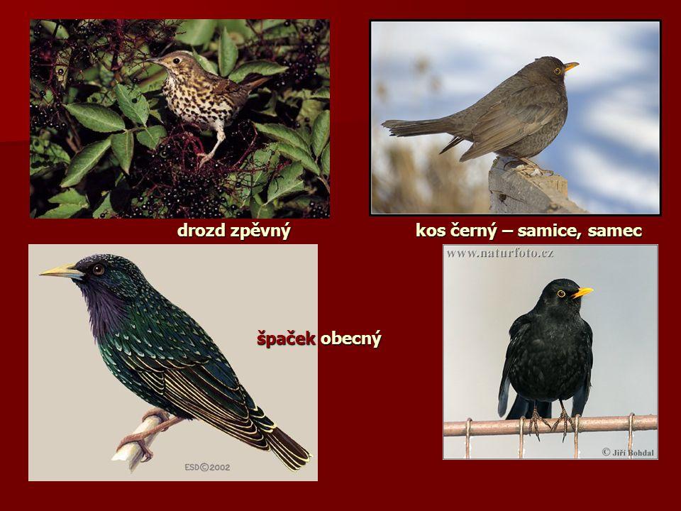 drozd zpěvný kos černý – samice, samec špaček obecný