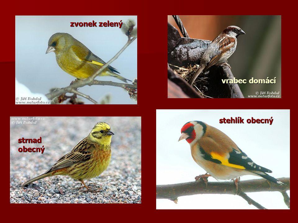 zvonek zelený vrabec domácí stehlík obecný strnad obecný