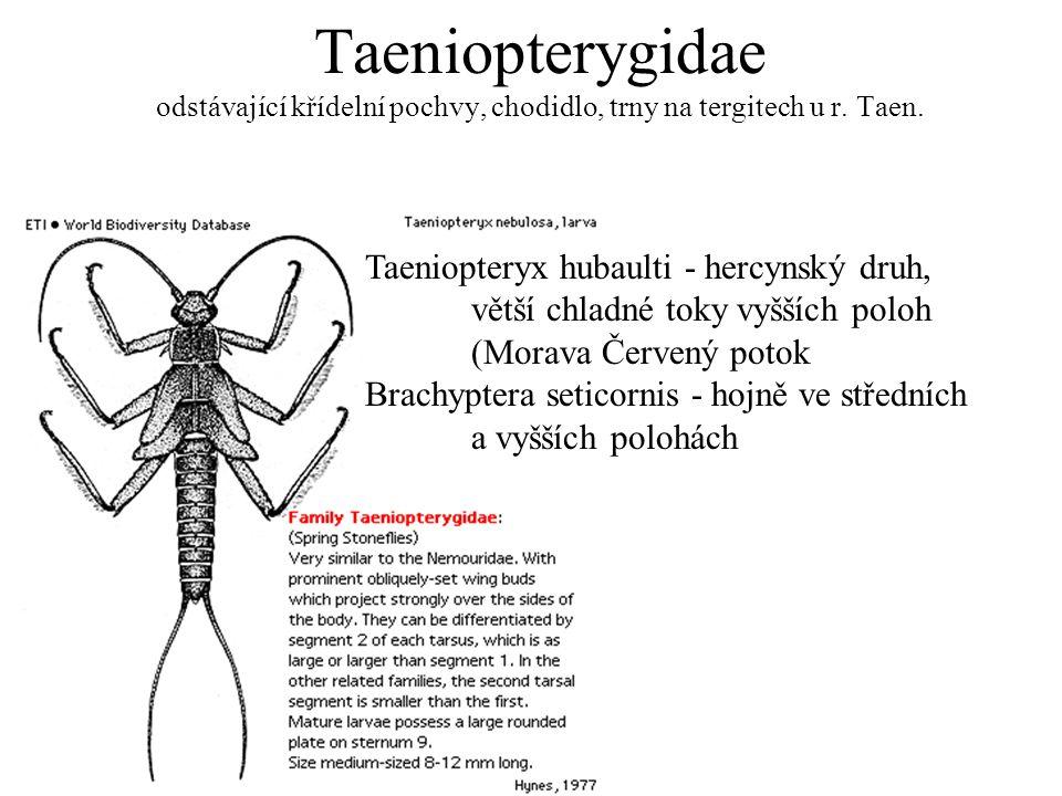 Taeniopterygidae odstávající křídelní pochvy, chodidlo, trny na tergitech u r. Taen.