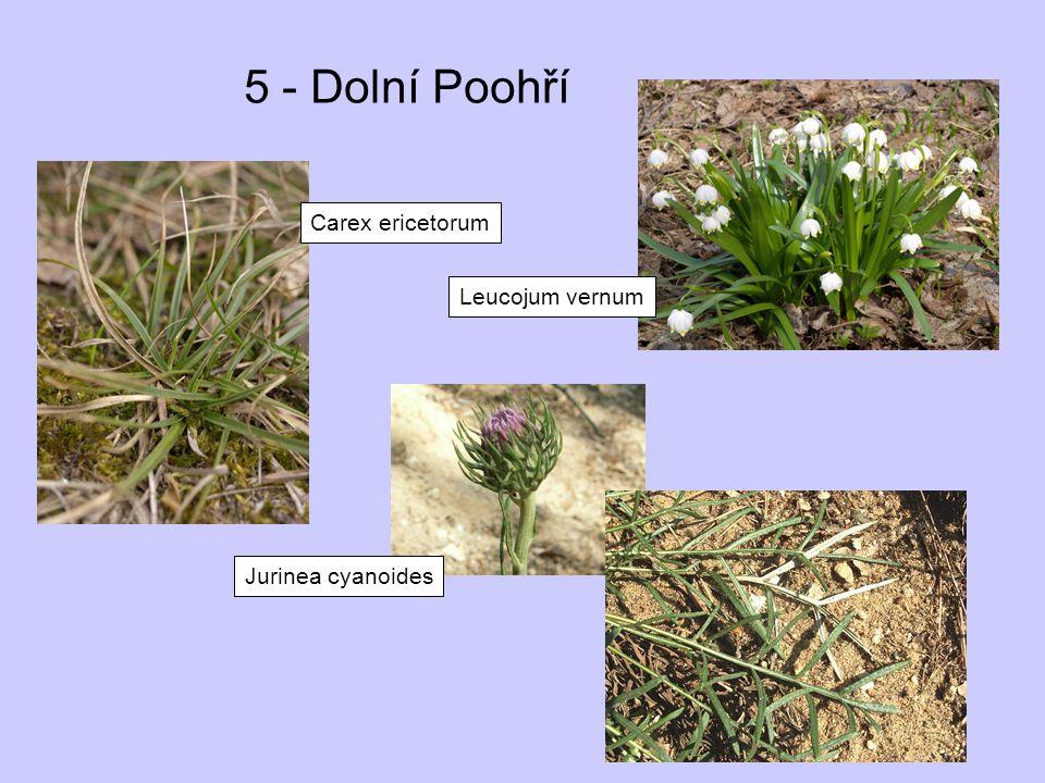 5 - Dolní Poohří Carex ericetorum Leucojum vernum Jurinea cyanoides