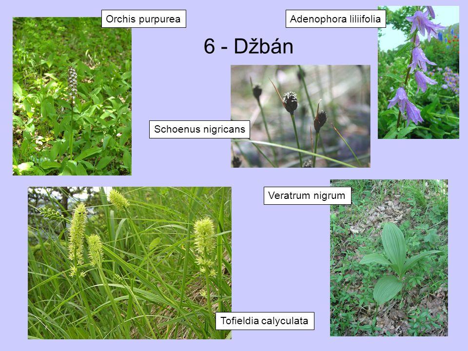 6 - Džbán Orchis purpurea Adenophora liliifolia Schoenus nigricans