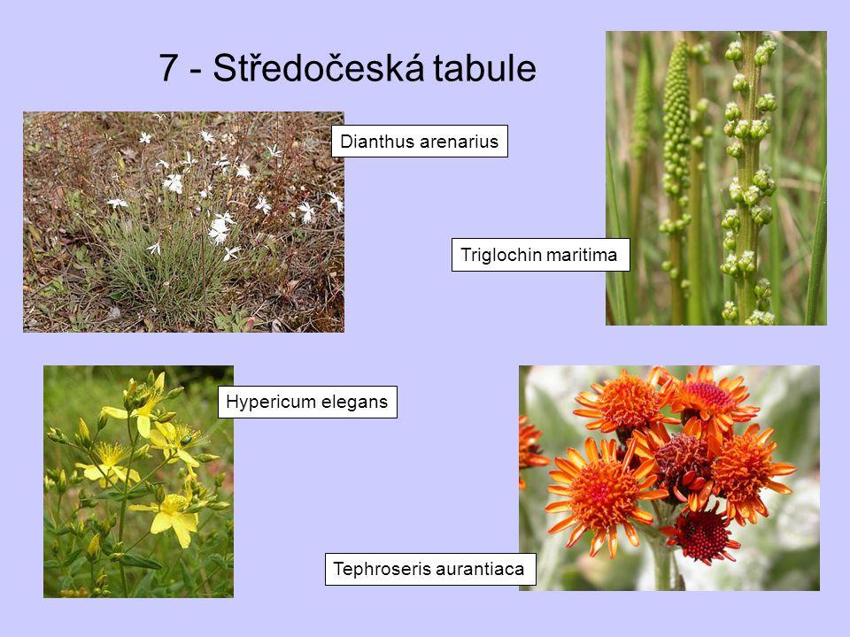 7 - Středočeská tabule Dianthus arenarius Triglochin maritima