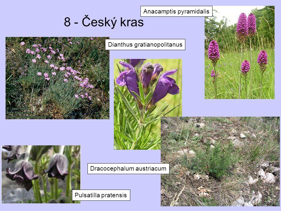 8 - Český kras Anacamptis pyramidalis Dianthus gratianopolitanus