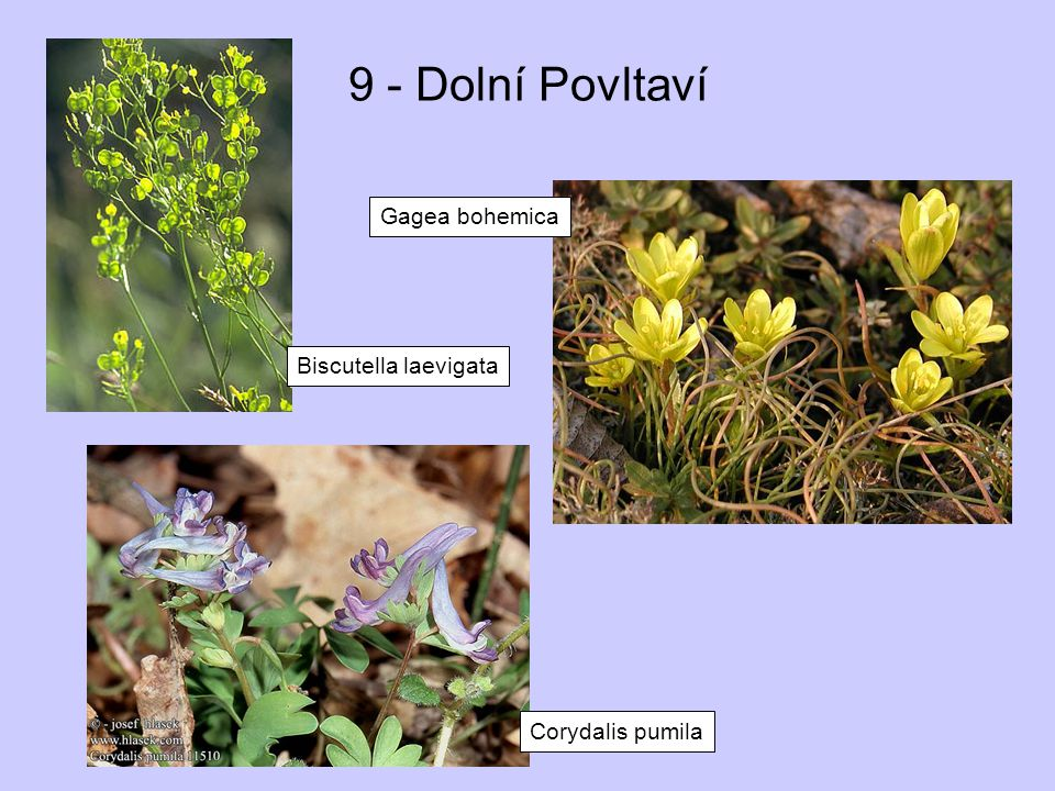 9 - Dolní Povltaví Gagea bohemica Biscutella laevigata