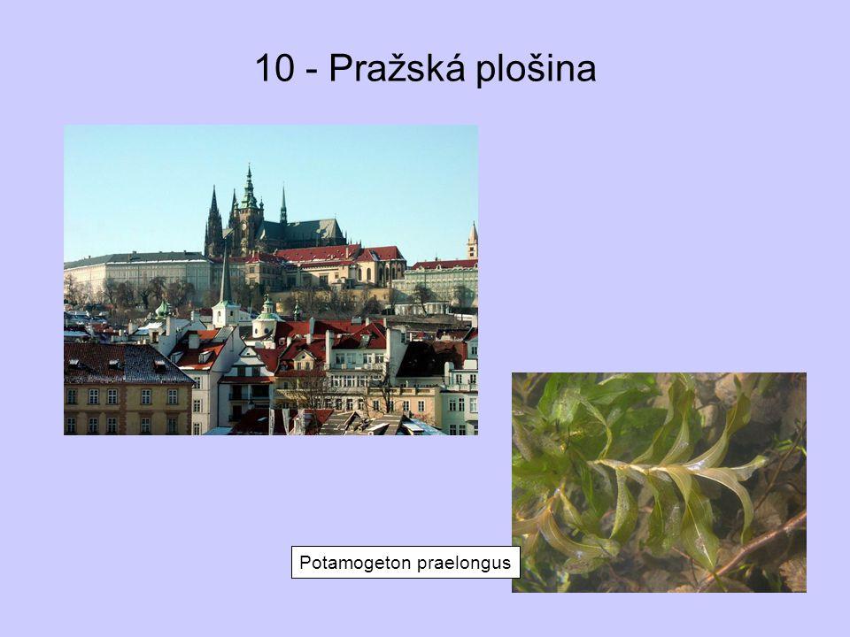 10 - Pražská plošina Potamogeton praelongus
