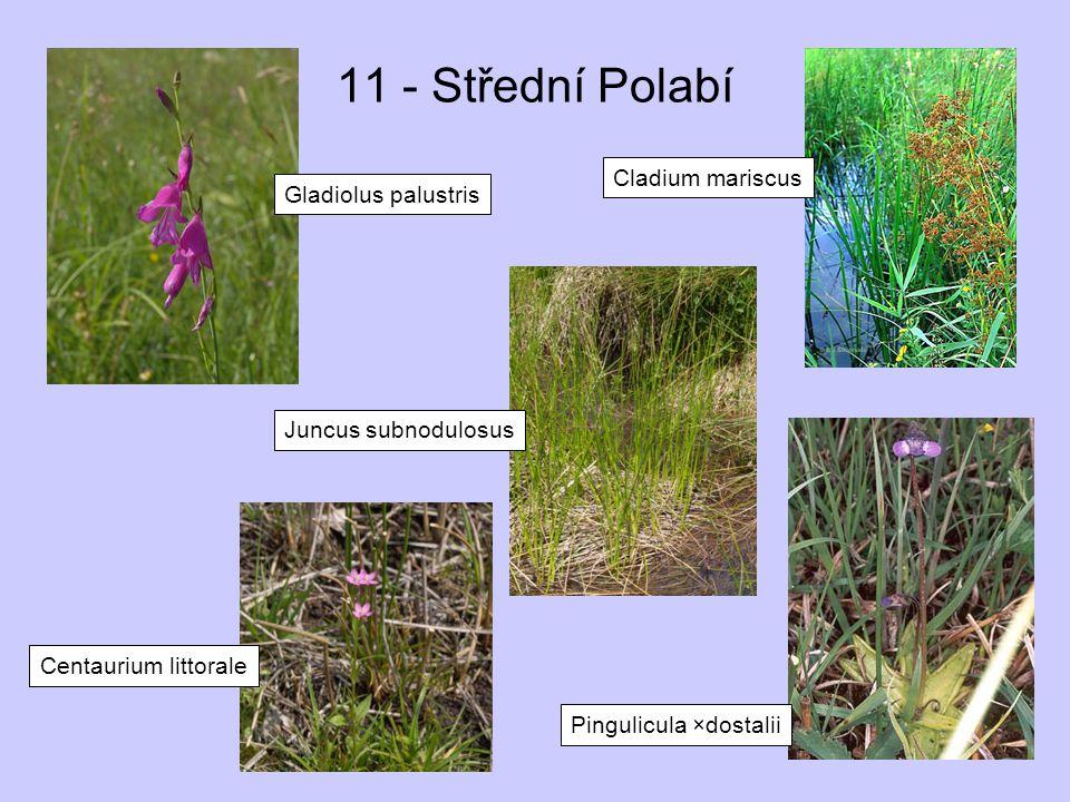 11 - Střední Polabí Cladium mariscus Gladiolus palustris