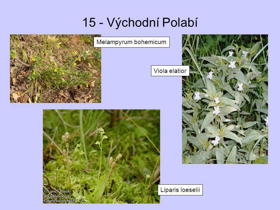 15 - Východní Polabí Melampyrum bohemicum Viola elatior