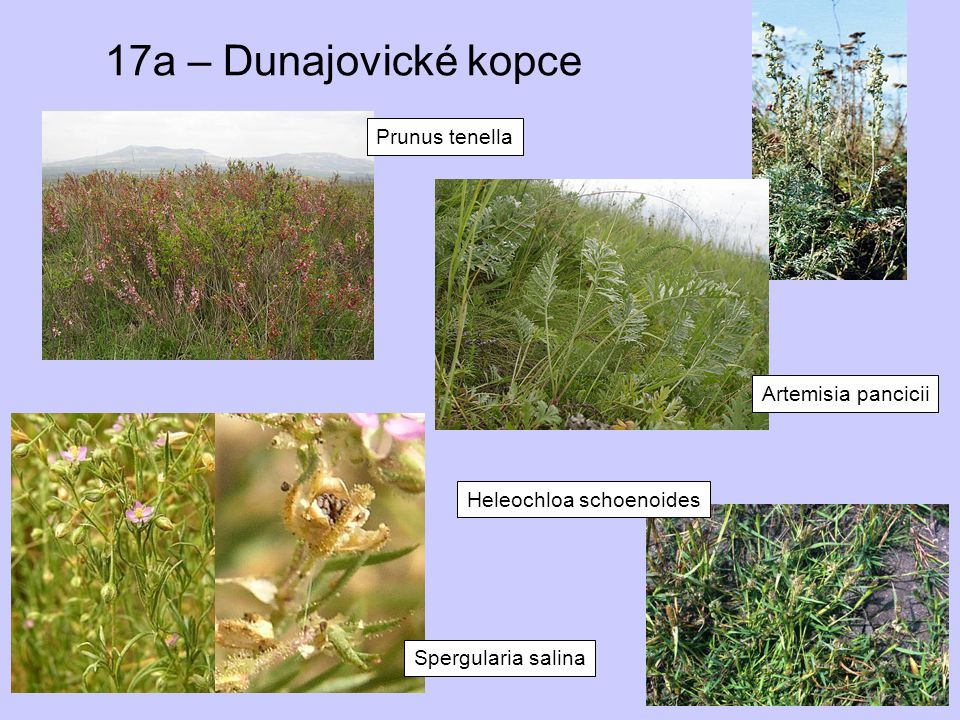 17a – Dunajovické kopce Prunus tenella Artemisia pancicii