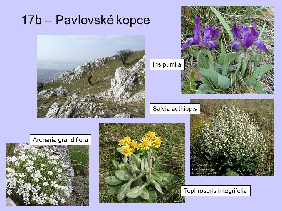 17b – Pavlovské kopce Iris pumila Salvia aethiopis