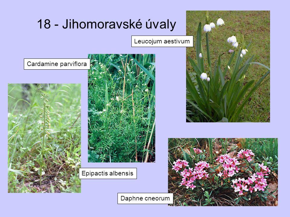 18 - Jihomoravské úvaly Leucojum aestivum Cardamine parviflora