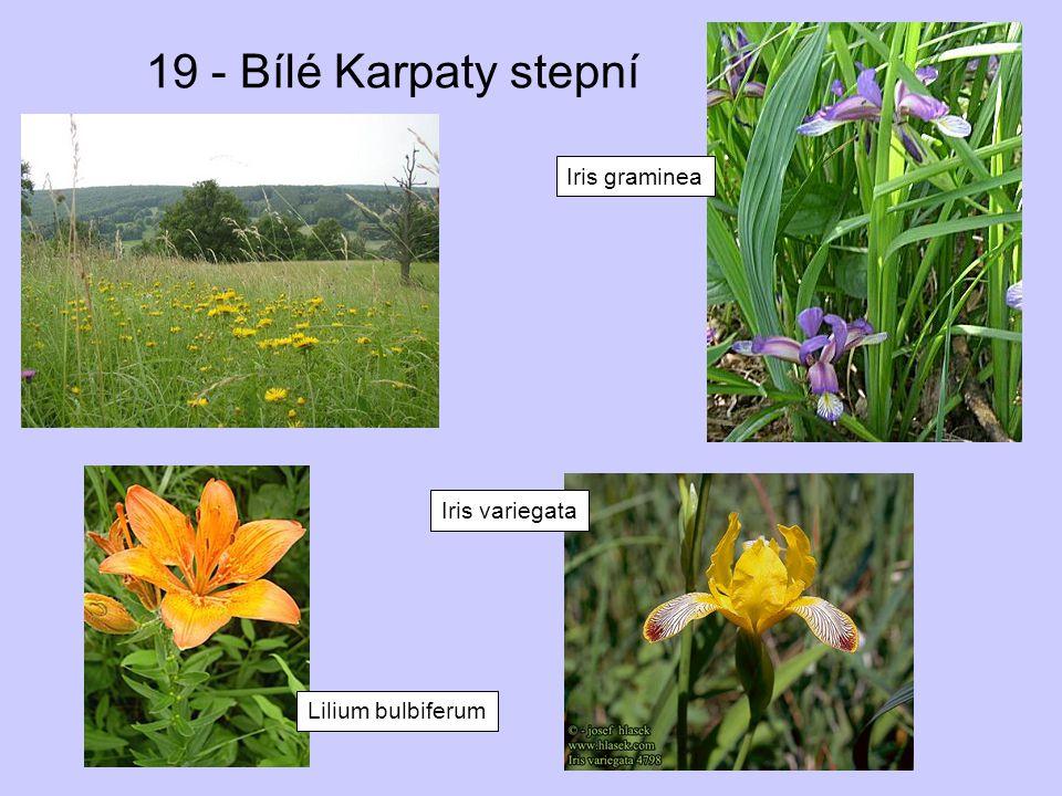 19 - Bílé Karpaty stepní Iris graminea Iris variegata