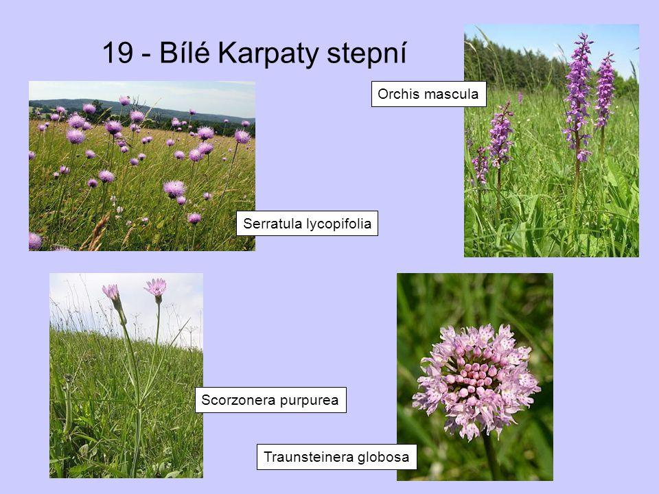 19 - Bílé Karpaty stepní Orchis mascula Serratula lycopifolia